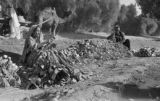 Pakistan, woman at pile of turnips near ditch
