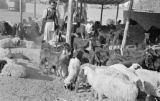 Pakistan, sheep and goats at livestock market in Lahore