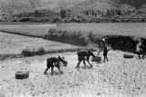 Hong Kong, people planting rice in paddy field