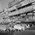 India, cows passing under advertisement boards on building wall in Kolkata