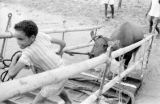 Indonesia, boy on Sumbawa Island pulling steer up gangplank to board cattle boat