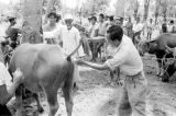 Indonesia, animal being vaccinated on Sumbawa Island