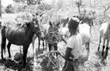 Indonesia, man with horses on Sumbawa Island