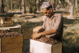 Iraq, man arranging dates in wooden box