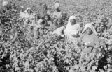 Bangladesh, women and girls picking cotton at farm in Dhaka