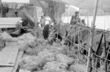 Indonesia, steer eating hay on deck of cattle boat docked at Sumbawa Island