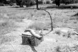 Indonesia, Komodo dragon trap built by Harrison Forman's crew on Komodo Island