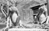 Indonesia, proboscis monkeys on exhibit at Celebes Island zoo