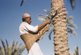 Iraq, man holding sickle climbing palm tree