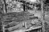 Malaysia, communist Gurkha soldier sleeping in jungle camp shelter