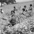 India, women and boy husking corn on farm field in Hyderabad