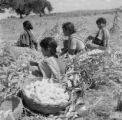 India, basket of corn cobs near women husking corn in Hyderabad