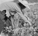 Hong Kong, woman harvesting vegetable on farm field