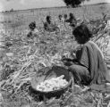 India, woman husking corn on farm field in Hyderabad
