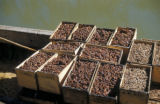 Basra (Iraq), boxed dates aboard cargo boat