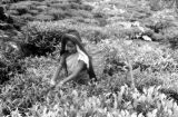 Sri Lanka, woman with headscarf picking tea leaves