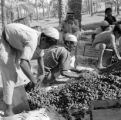 Iraq, men packing dates into crates