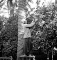 Iraq, man harvesting fruit from tree in Ba'qūbah