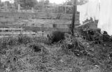 Philippines, wild pig near clotheslines in Port Holland