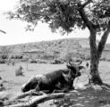 Turkey, cow resting under shade of tree