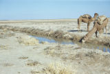 Baquba (Iraq), camel drinking from stream with another camel nearby