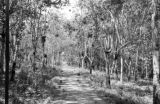 Malaysia, path through rubber tree forest