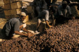 Iraq, men and boy sorting harvested dates
