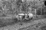 Singapore, men plowing land with oxen near rubber trees
