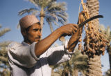 Iraq, man using sickle to harvest dates