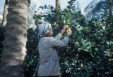 Baquba (Iraq), man picking fruit in orchard