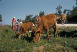 Turkey, cattle grazing between Yalova and Cinarcik