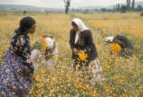 Turkey, Gypsies picking wild flowers