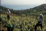 Akkooi (Turkey), working the vineyards
