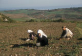 Yalova (Turkey), working the fields