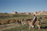 El Gazi (Turkey), cows grazing