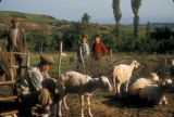 Akkooi (Turkey), milking sheep