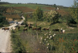 Turkey, cattle and farmland between Yalova and Cinarcik