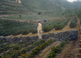 Japan, man standing on tea plantations