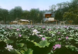 Kamakura (Japan), lotus pond of Tsurugaoka Hachiman shinto shrine