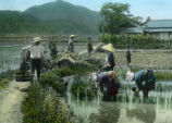 Japan, planting rice seedlings