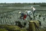 Japan, farmers growing rice