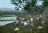 Shizuoka (Japan), women picking tea leaves