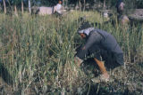 Esfahan province (Iran), man in field gathering plants