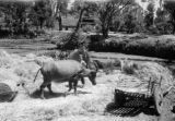 China, water buffalo pulling stone roller over rice