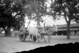 India, possibly a water buffalo team pulling a cart