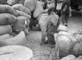 Shanghai (China), woman bending down amidst sacks of soybeans, Civil War of 1949