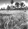 Kumphawapi (Thailand), field of sugarcane surrounded by trees