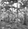 Nakhon Sawan province (Thailand), scientists in a banana tree garden