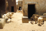 Kano, goats in residential street