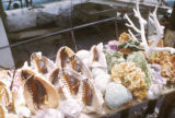 Nassau, shells and coral on display